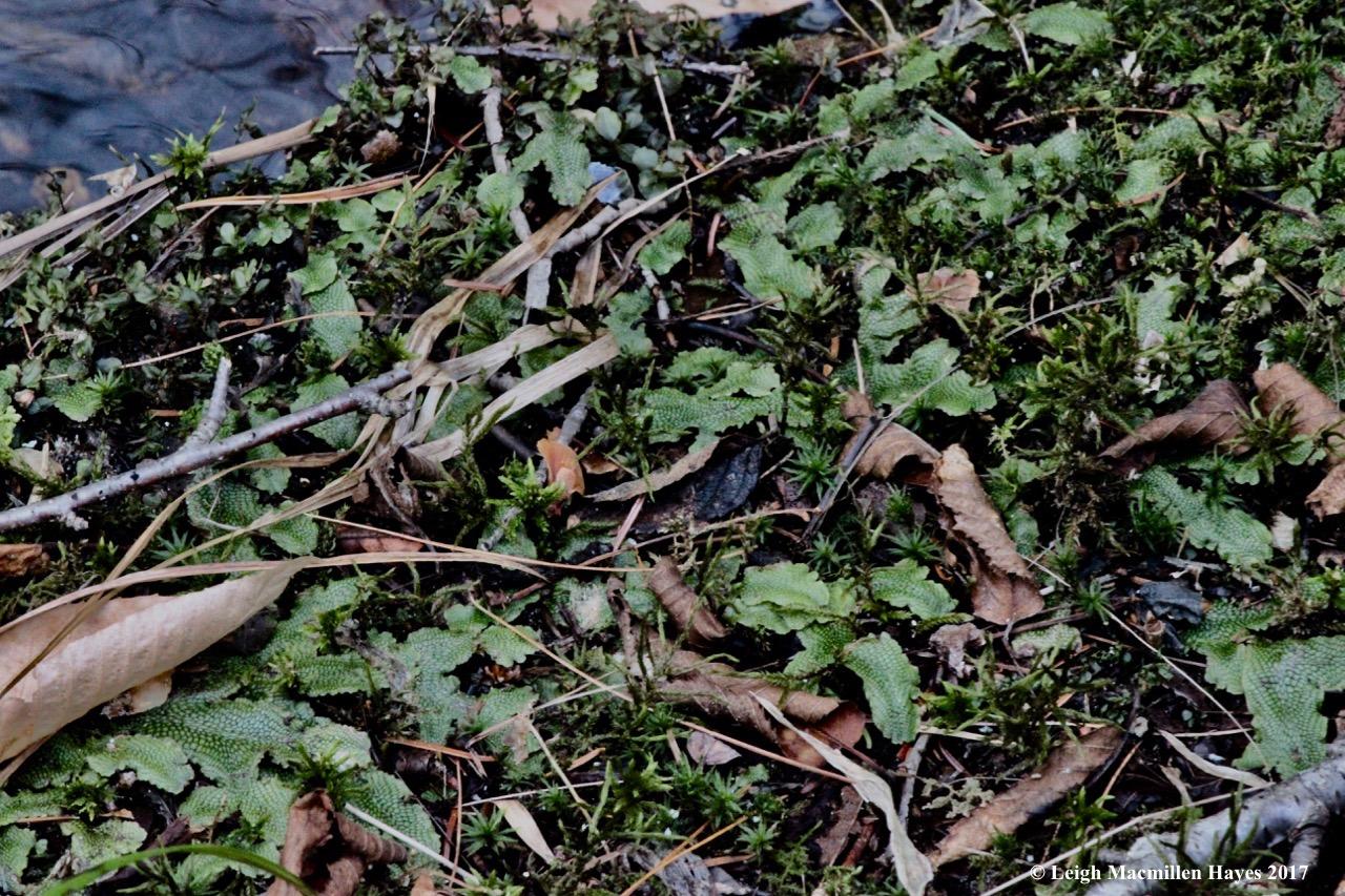 m9-snake liverwort