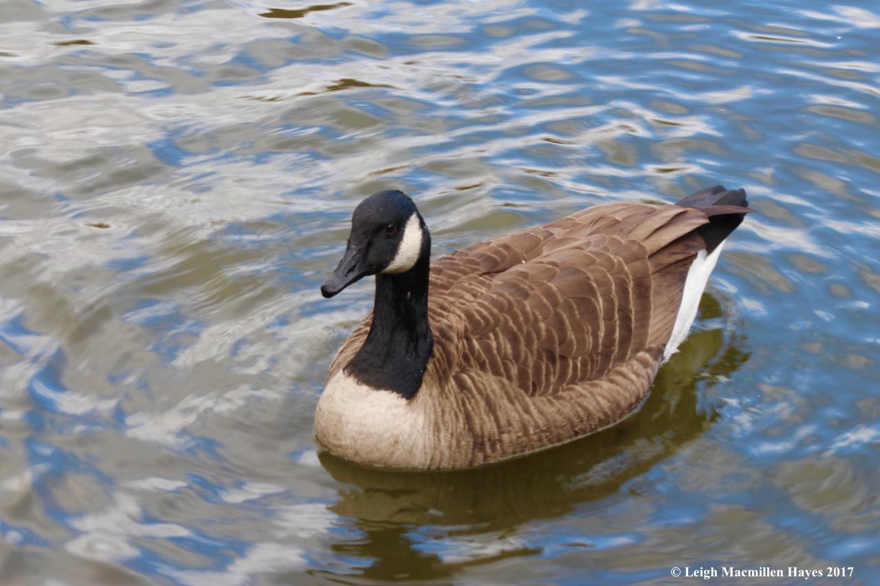 n-Canada goose