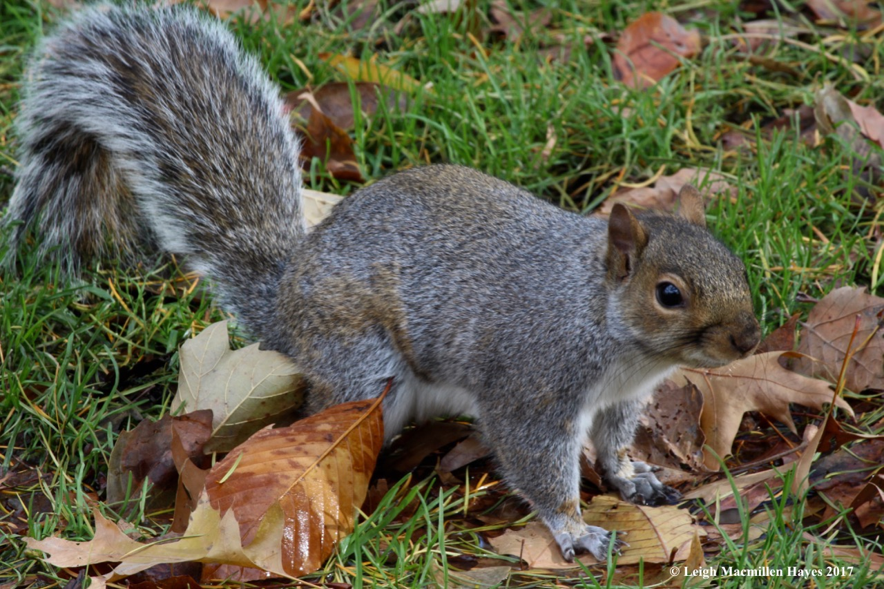 n-gray squirrel 1