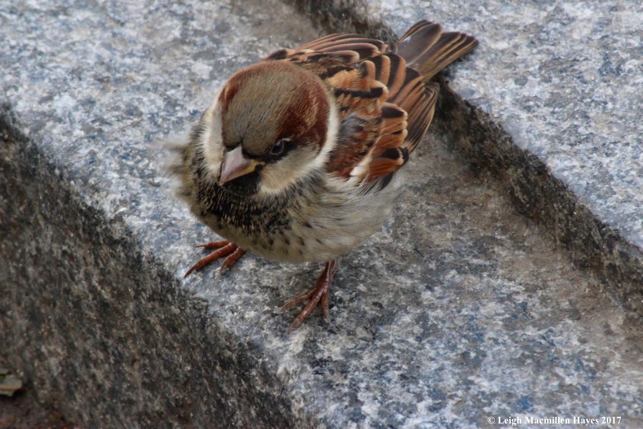 n-house sparrow 1