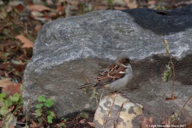 n-house sparrow 2
