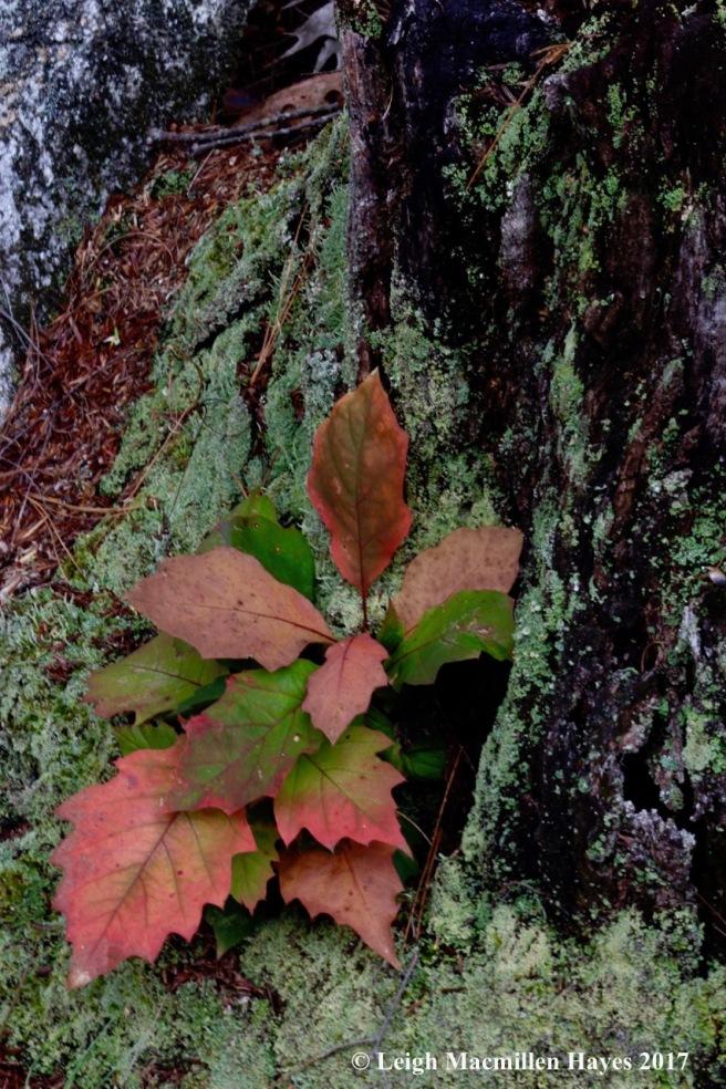 o-oak saplings