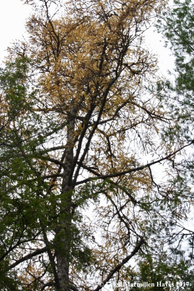 o-tamarack tree