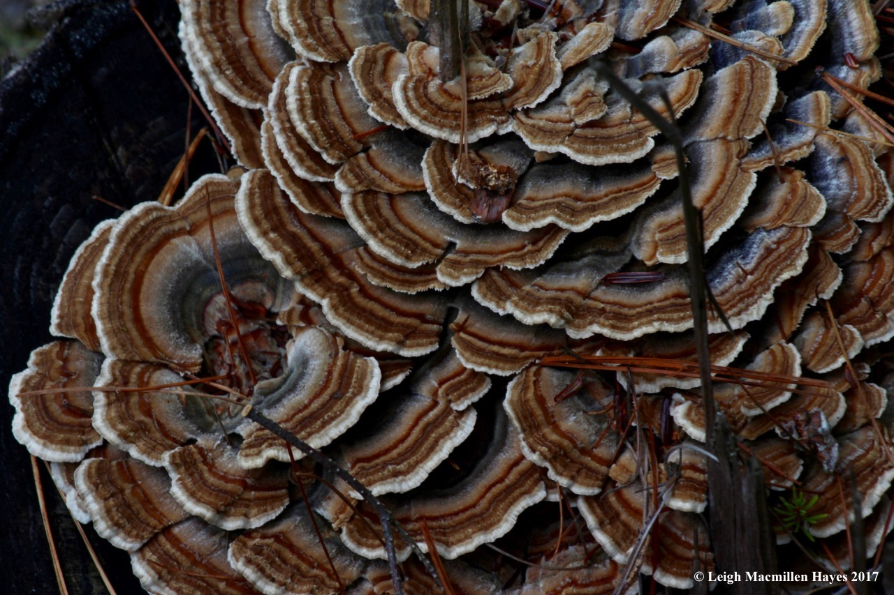 o-turkey tail fungi