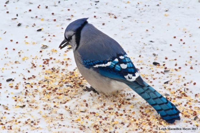 a-bluejay with seed