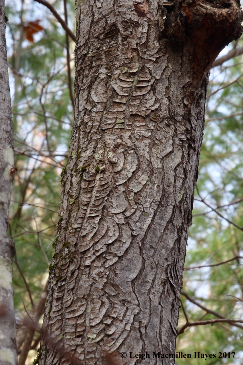 a1-red maple target fungus