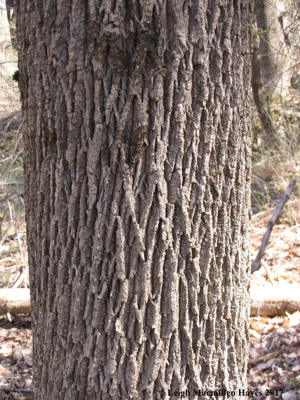 b-ash bark