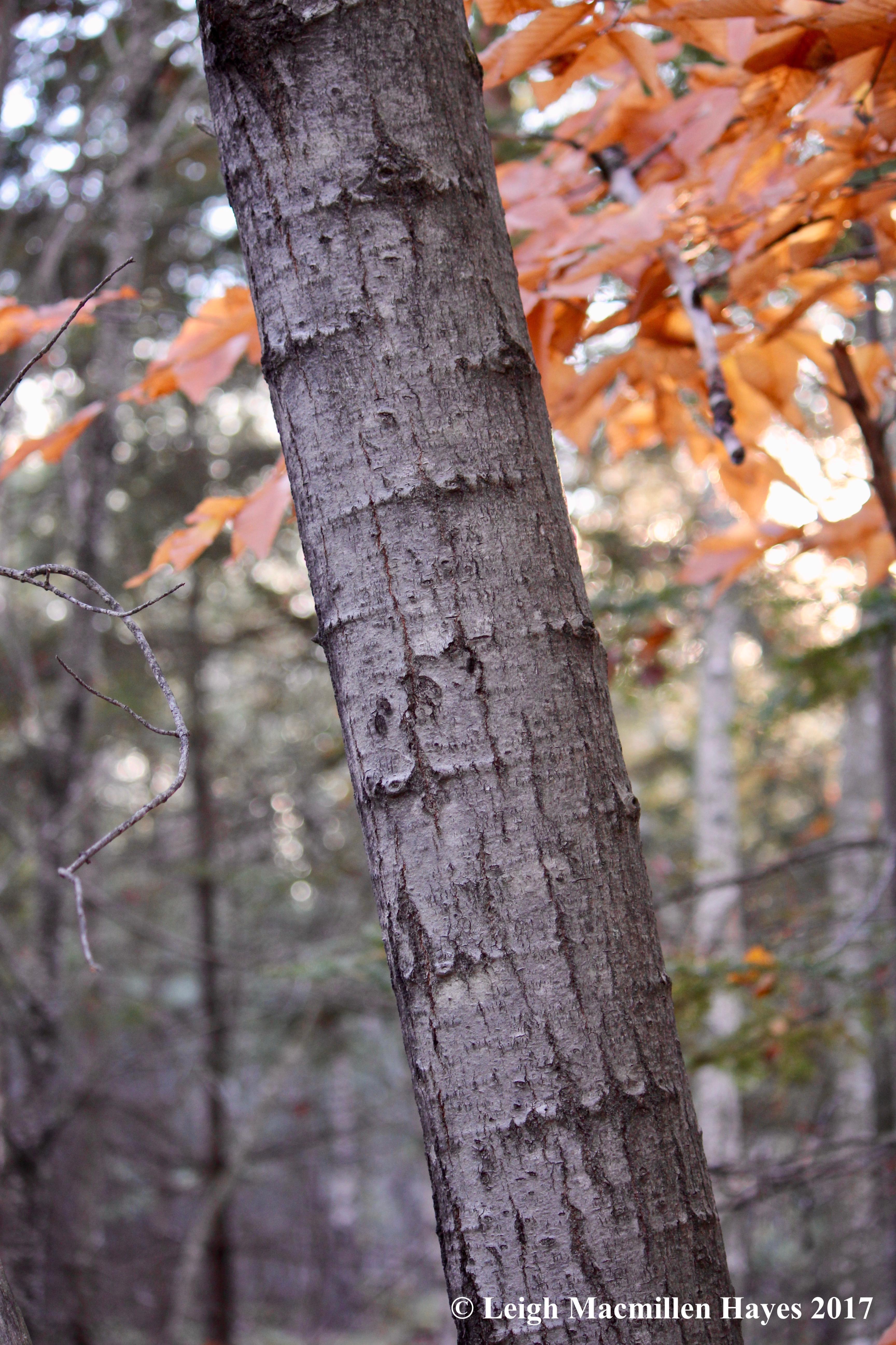 b-aspen bark
