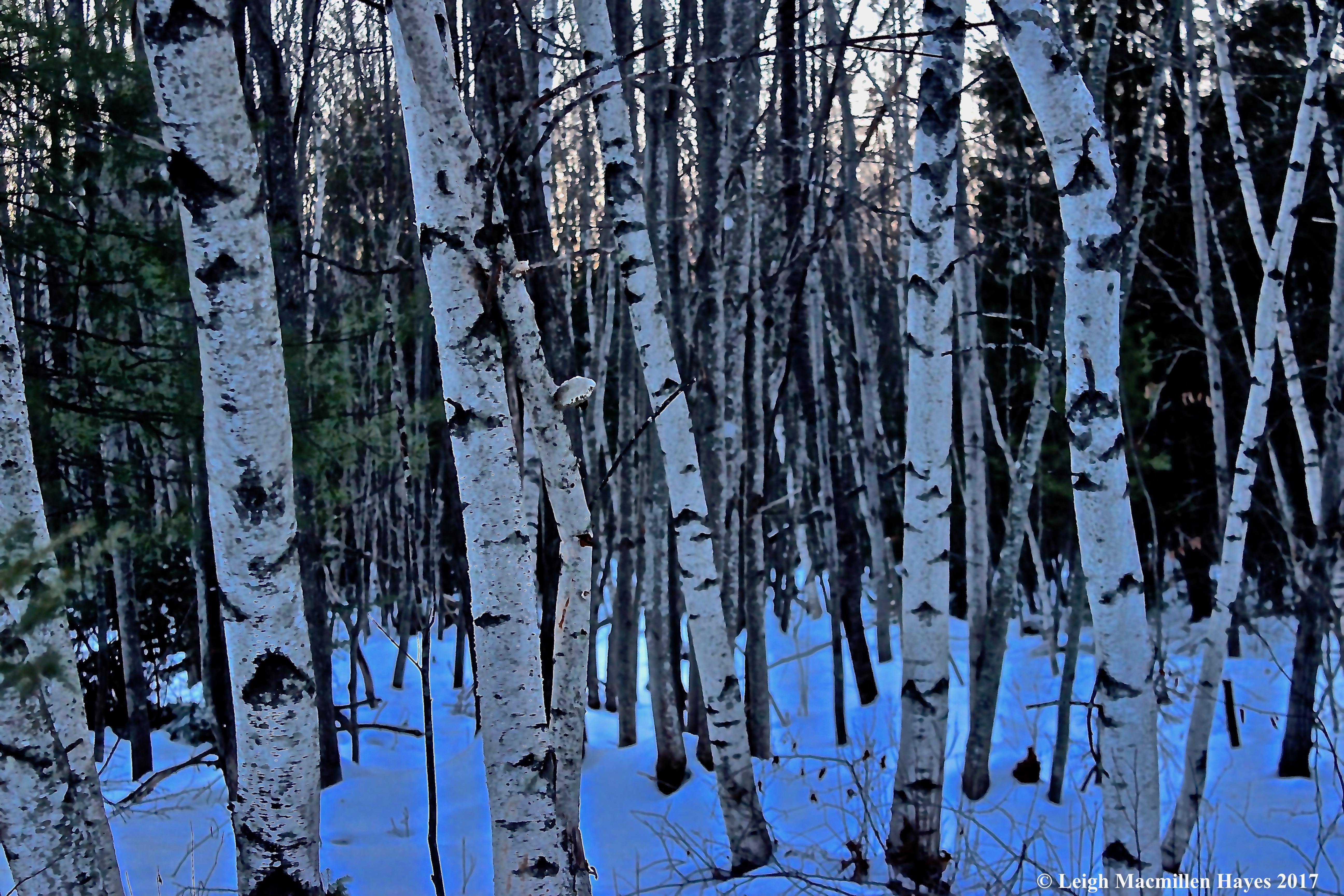 b-gray birch