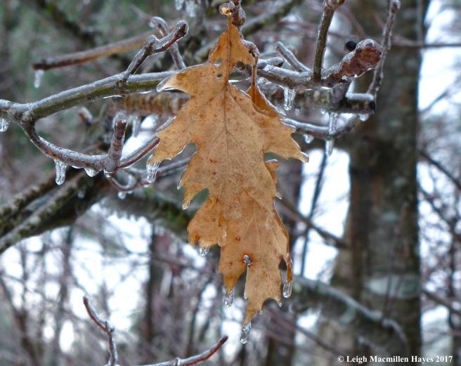 b-marcescent leaf