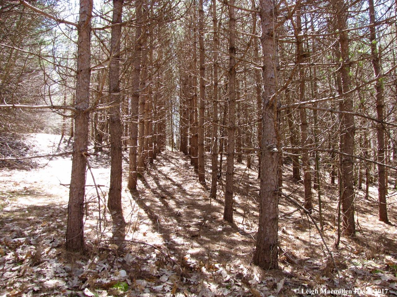 b-red pine plantation