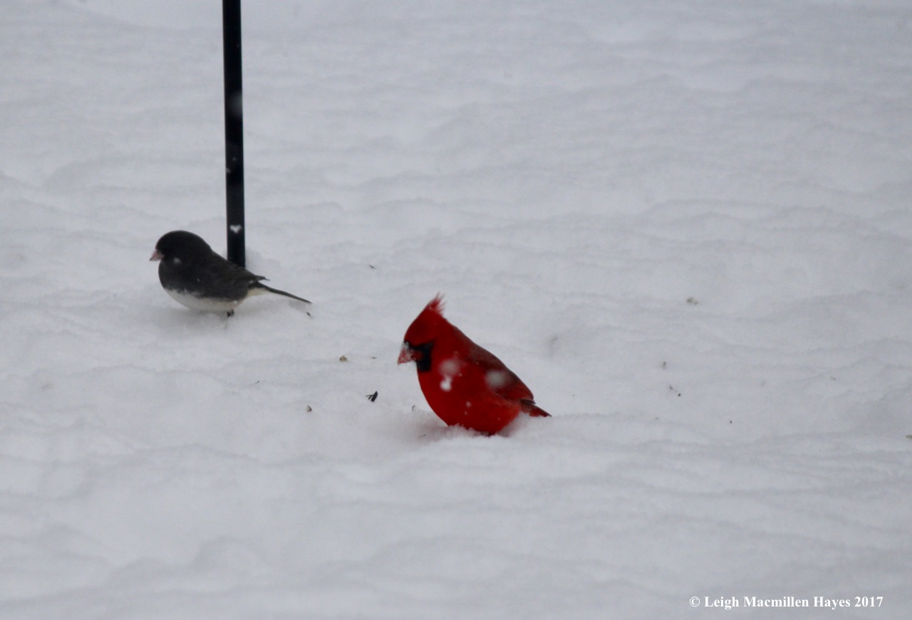 c-junco and cardinal
