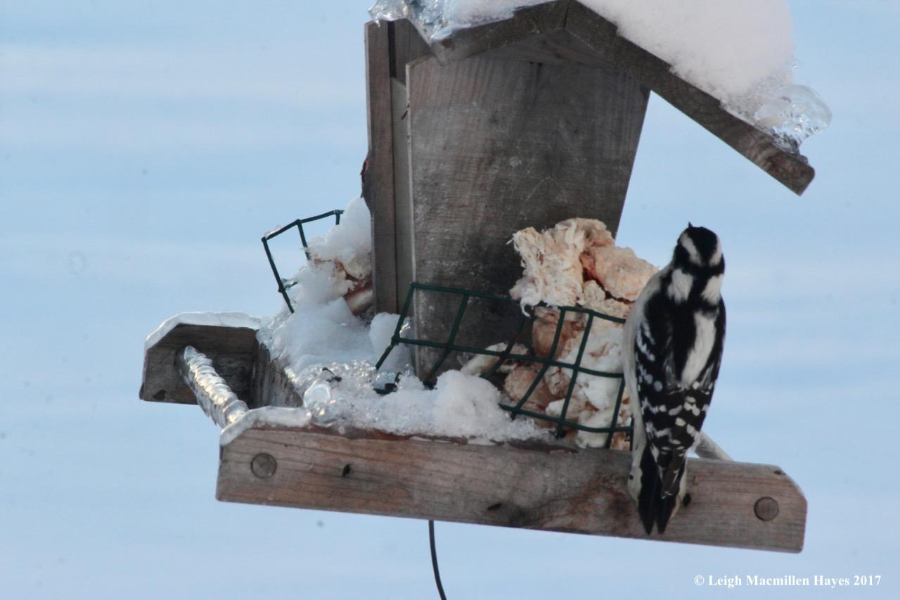 c7-female downy woodpecker