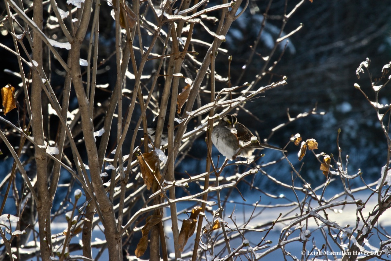c7-white-throated sparrow