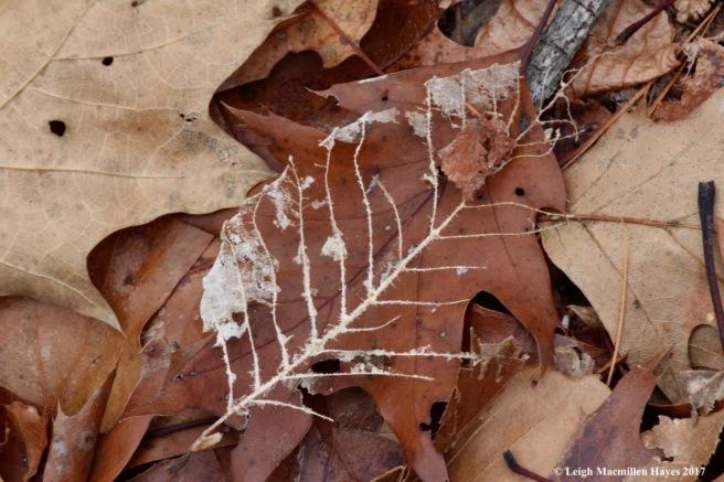 f-beech leaf skeleton
