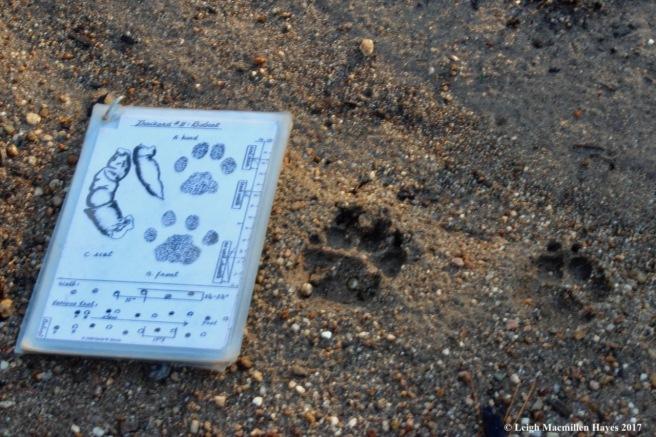 o-bobcat tracks