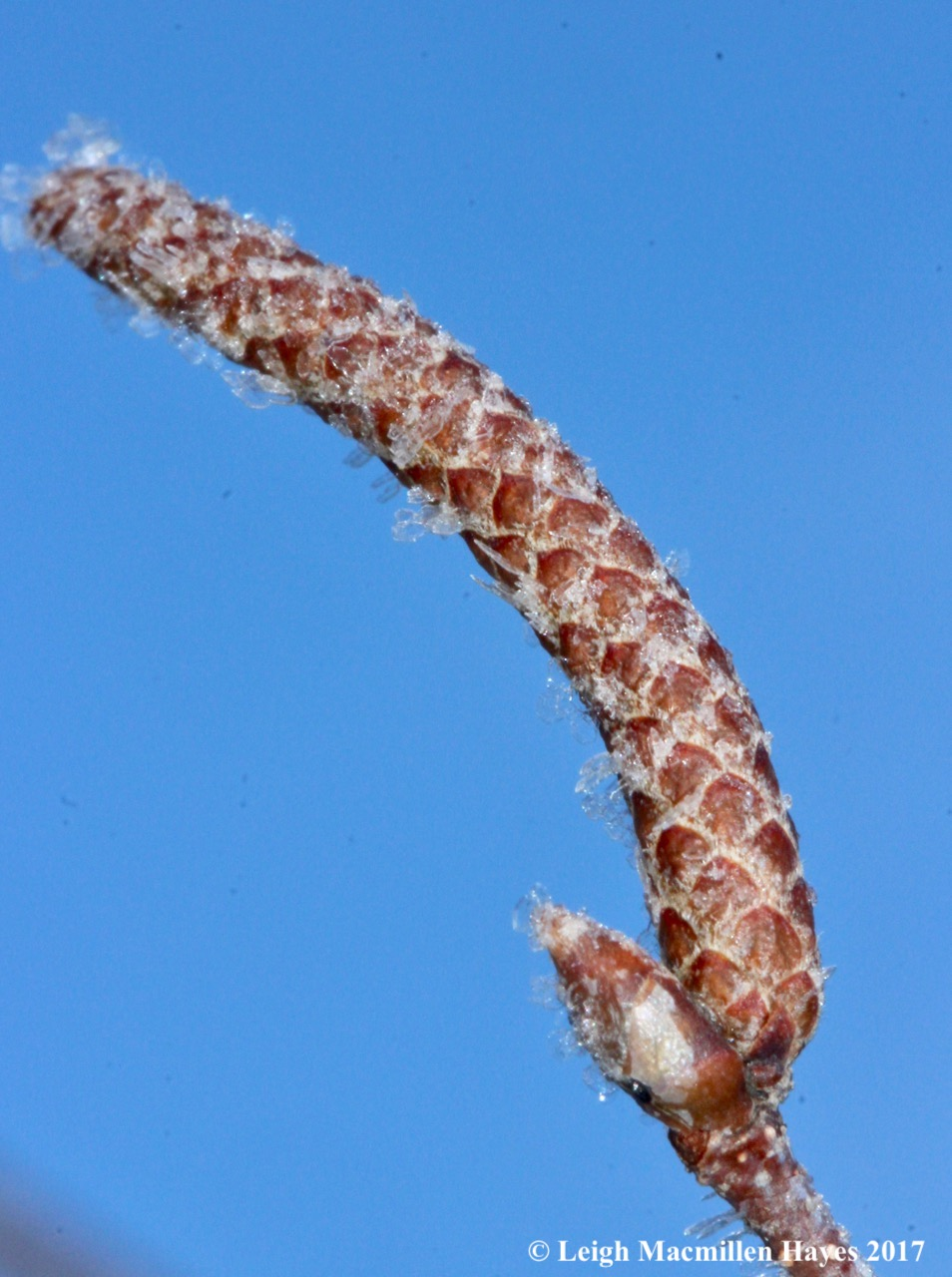 o-gray birch catkin 2