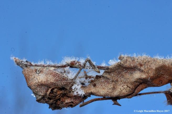 o-hoar frost 1