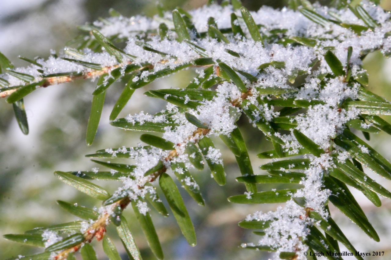 o-hoar frost on hemlock