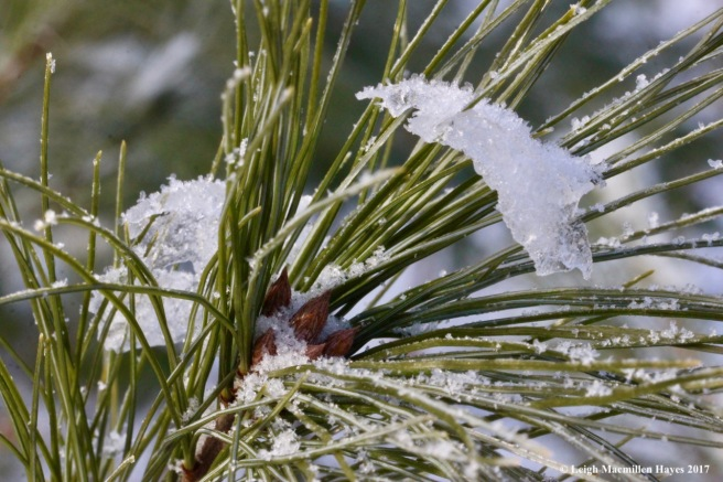 o-hoar frost on white pine