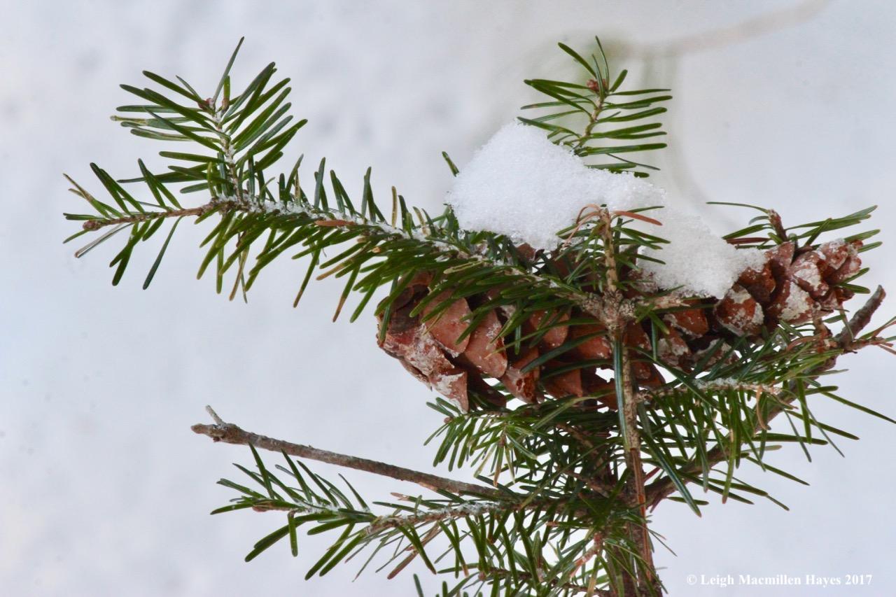 o-pinecone on hemlock