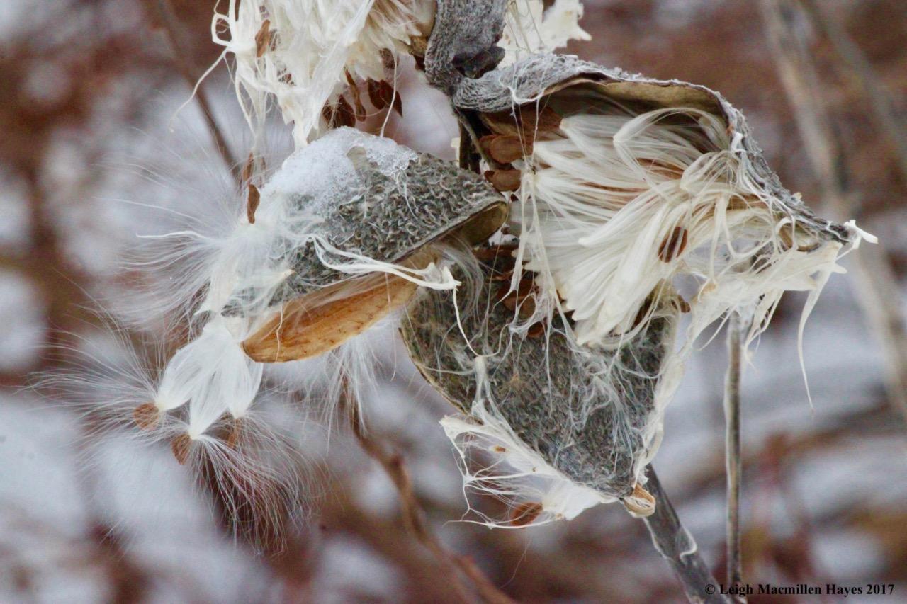 p-milkweed 2
