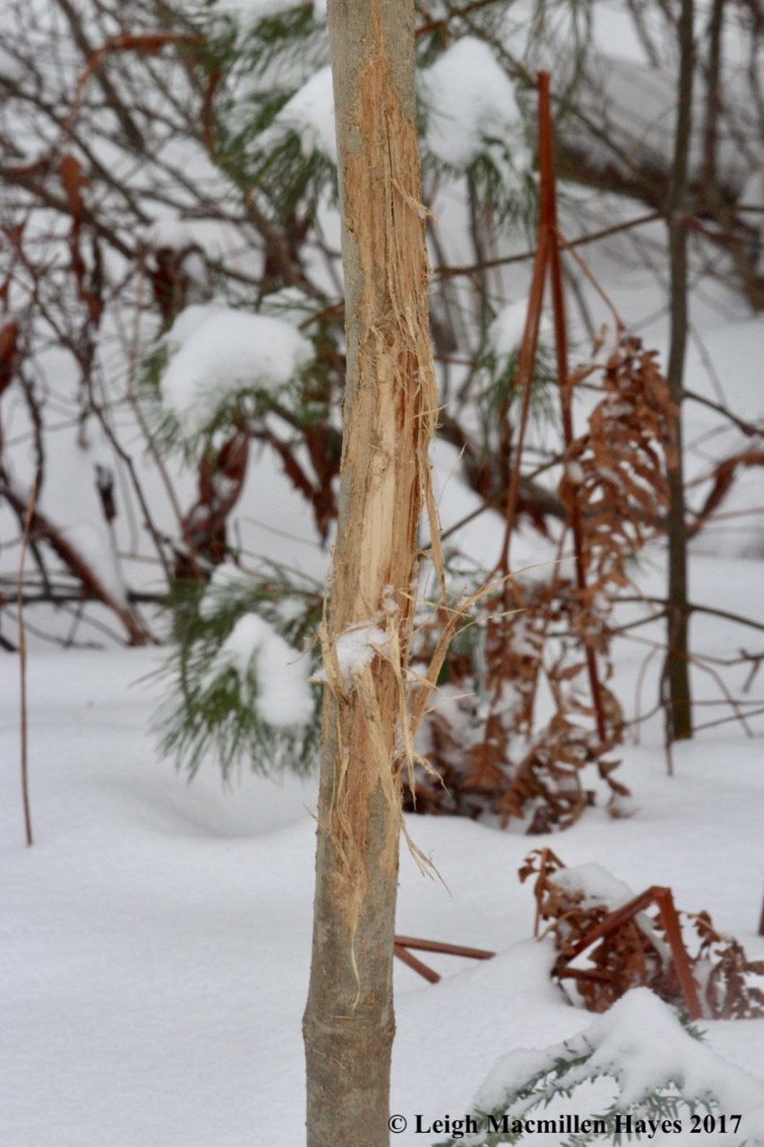 s-deer rub snow