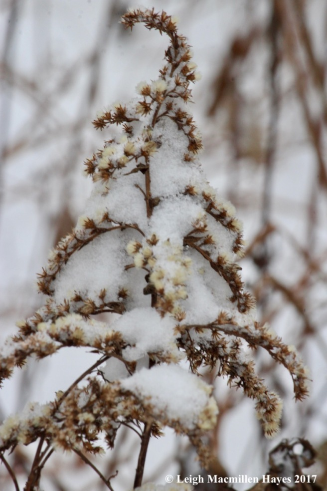 s-goldenrod snow
