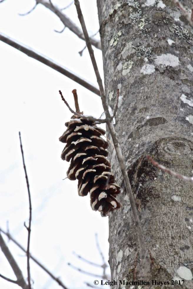 s-pinecone on maple