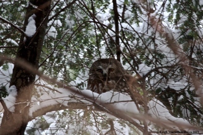 s-screech owl 2