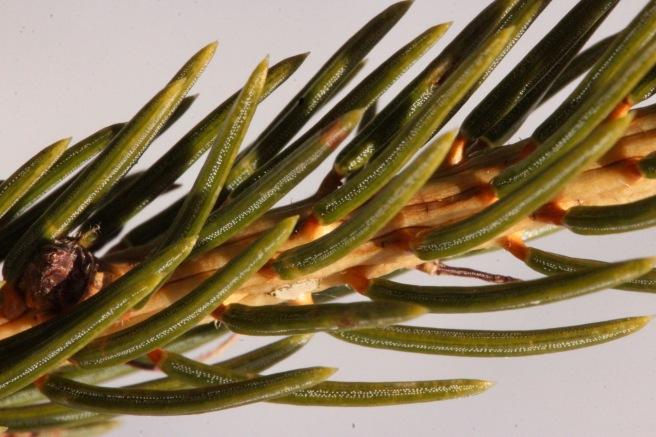 spiky spruce