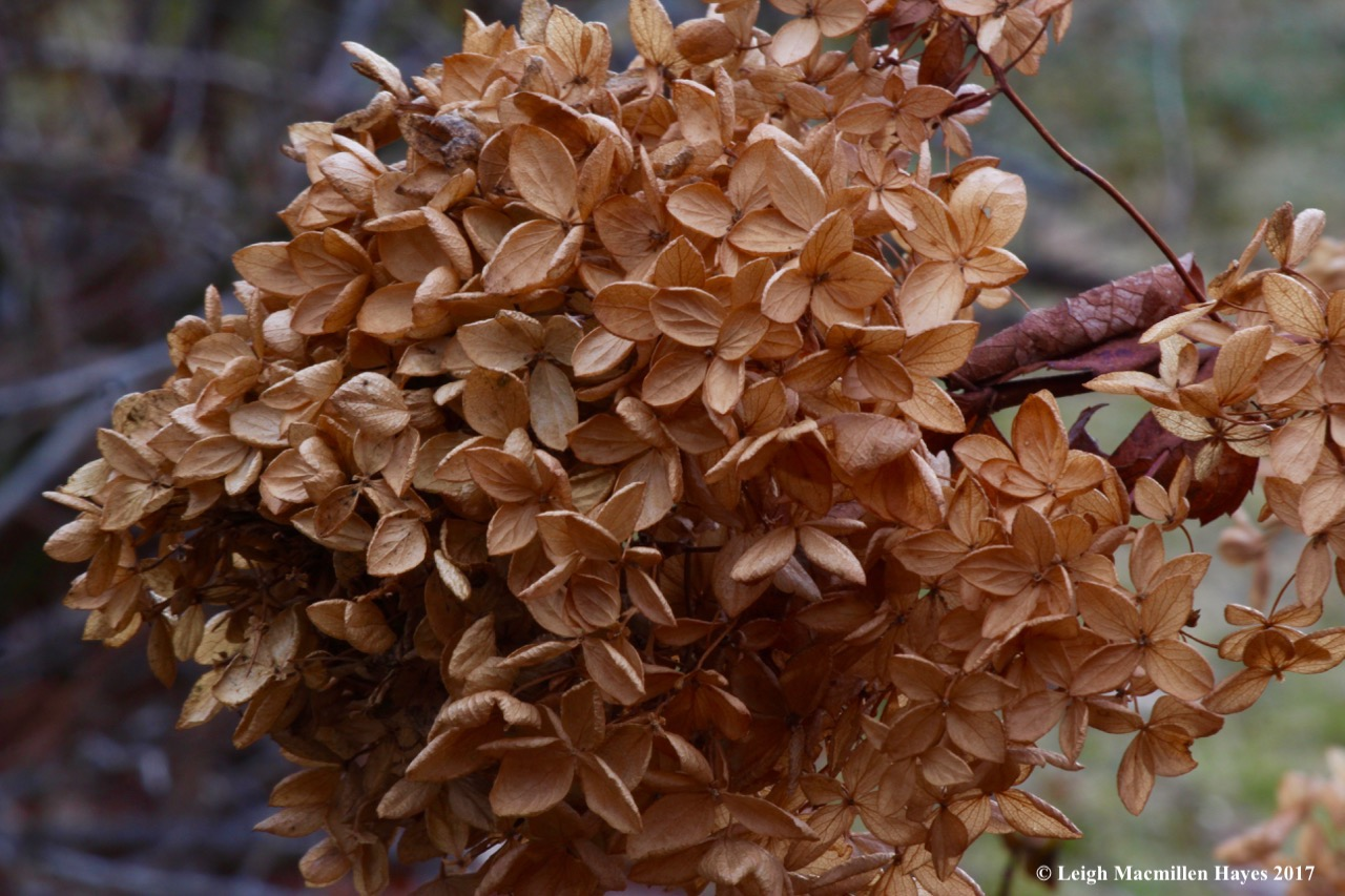 w1--hydrangea