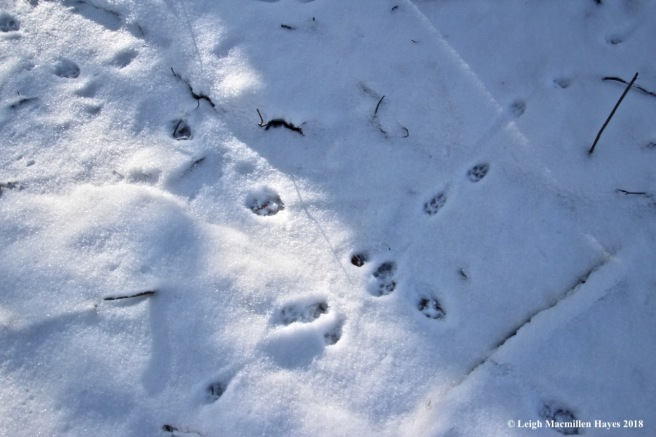 a2-coyote and red fox tracks
