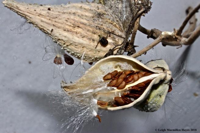 b-common milkweed 1
