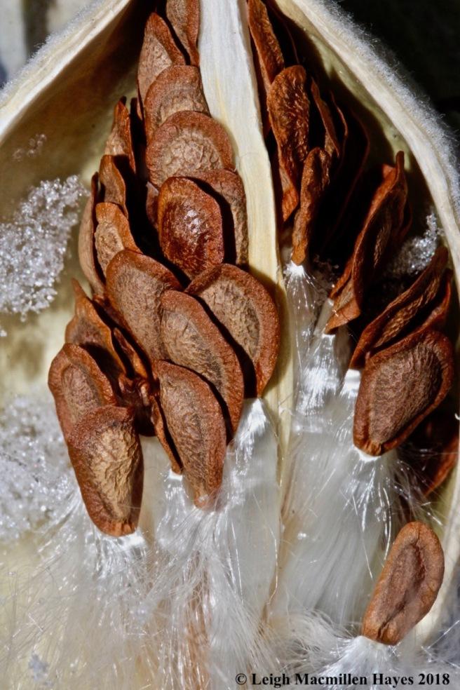 b-common milkweed 2