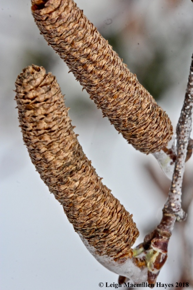 b-gray birch catkins
