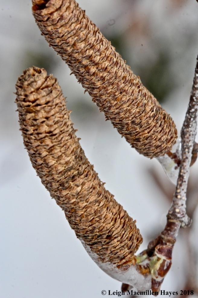 b-gray birch catkins