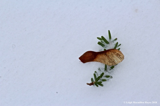 b-maple seed atop hemlock needles