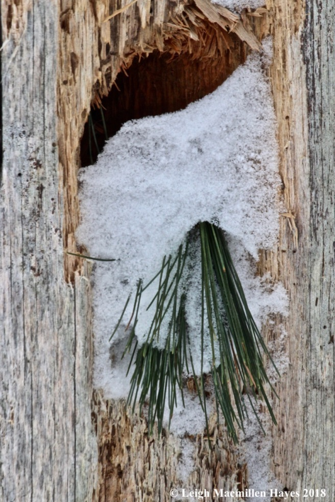 b-pine needles in pileated woodpecker hole