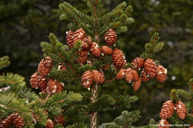 b19-spruce
