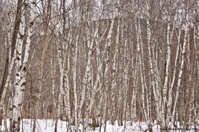 b2-gray birch