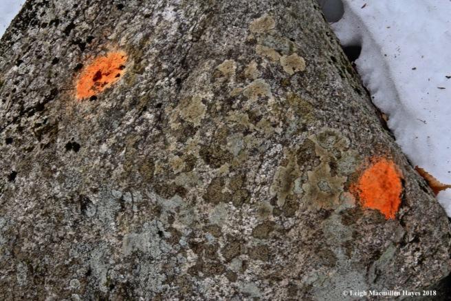 b33-orange lichen