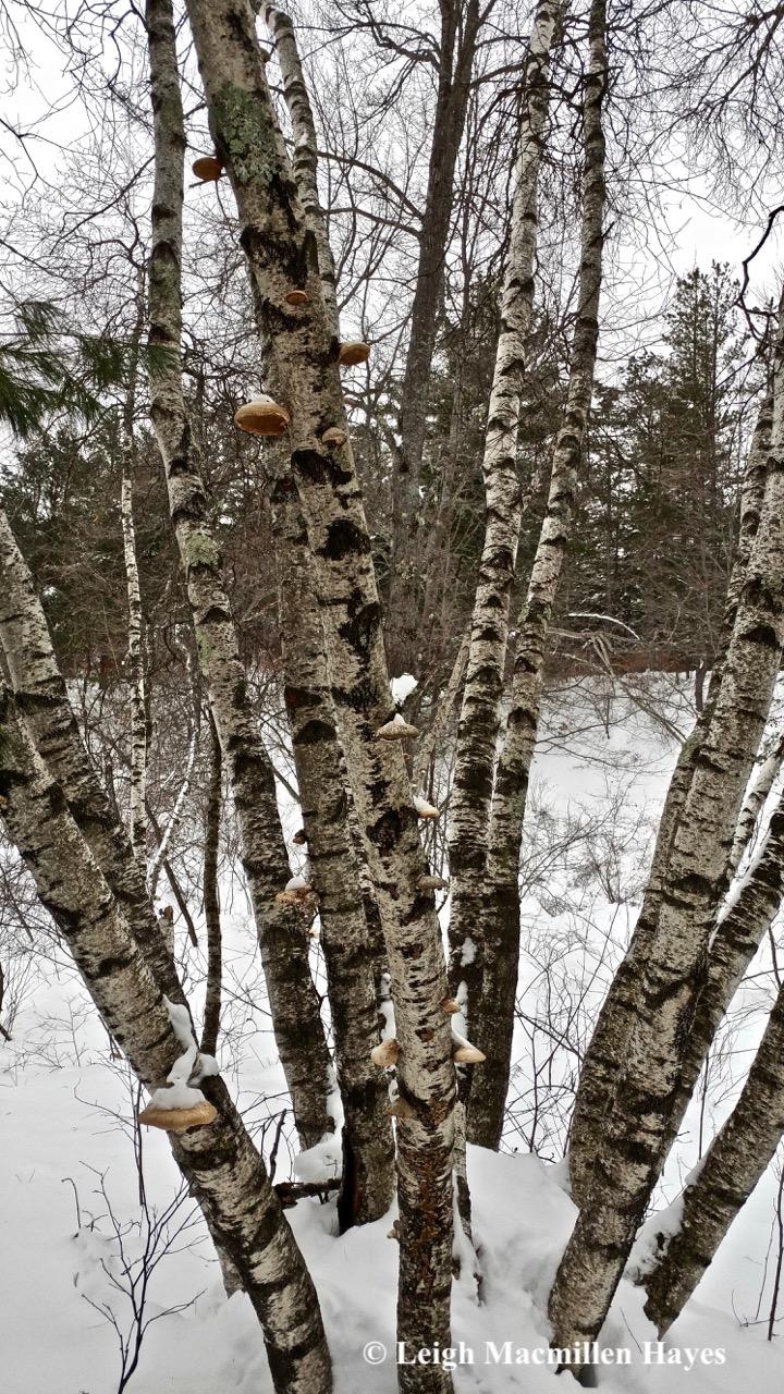 d-gray birch