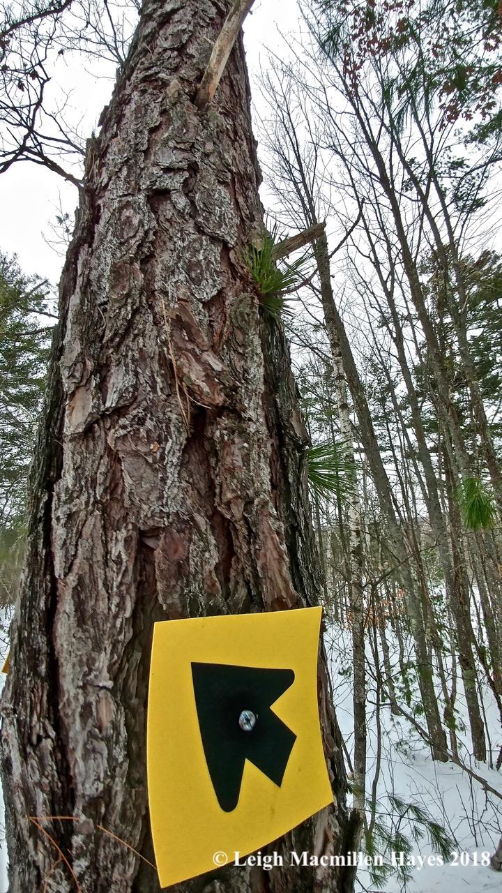 d-pitch pine