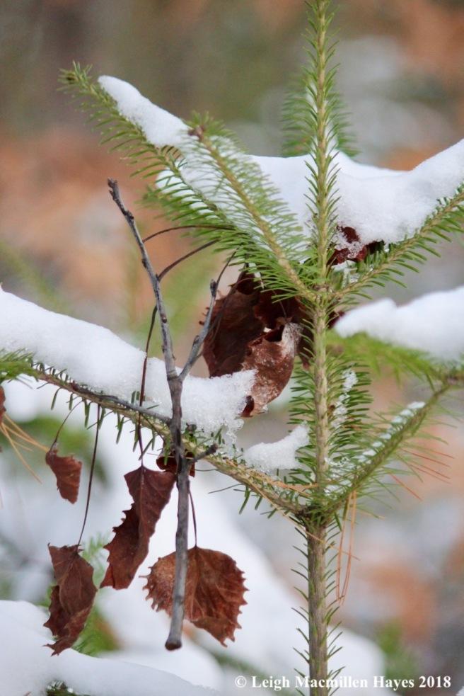 e-balsam fir standing upright