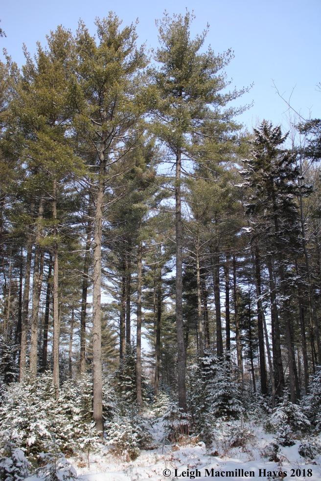 e-eastern white pine magestic.jpg