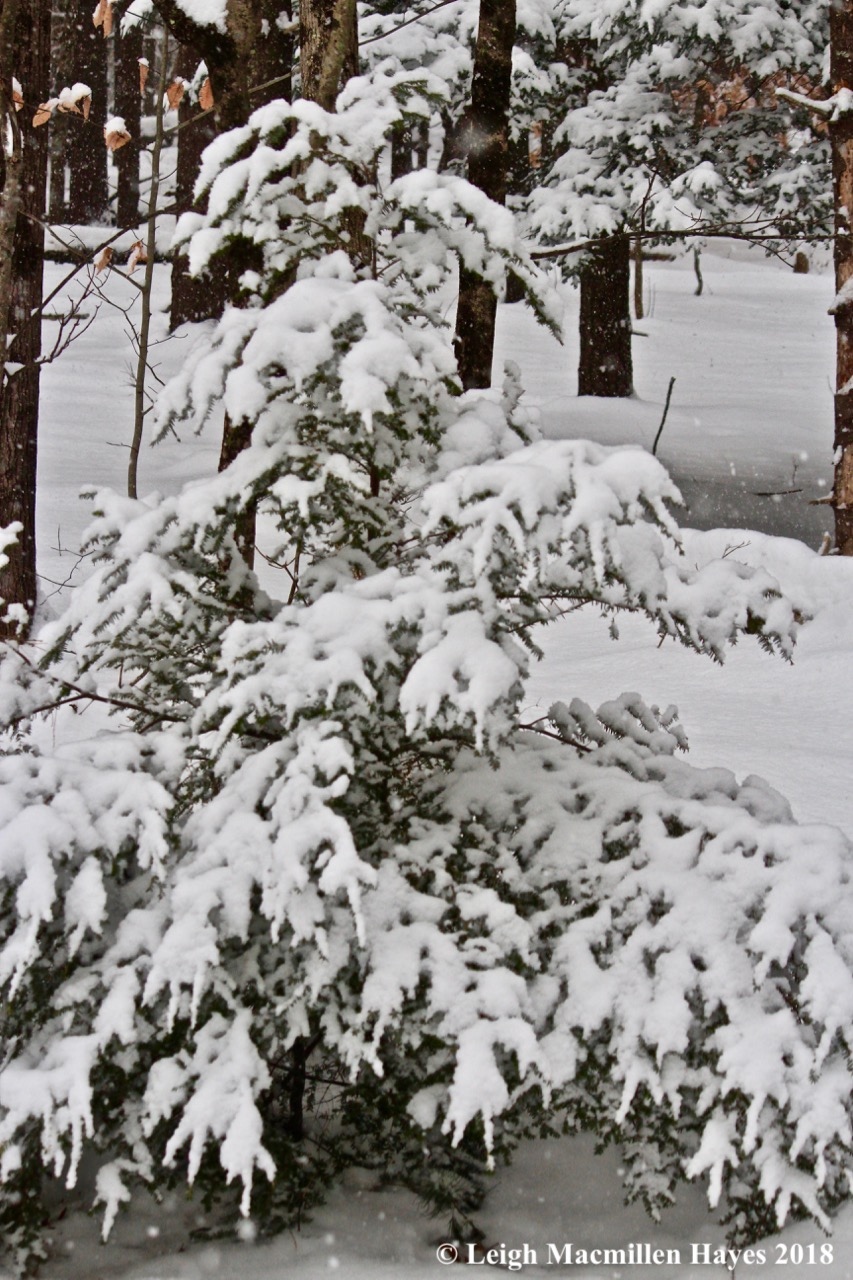 e-hemlock gathering snow
