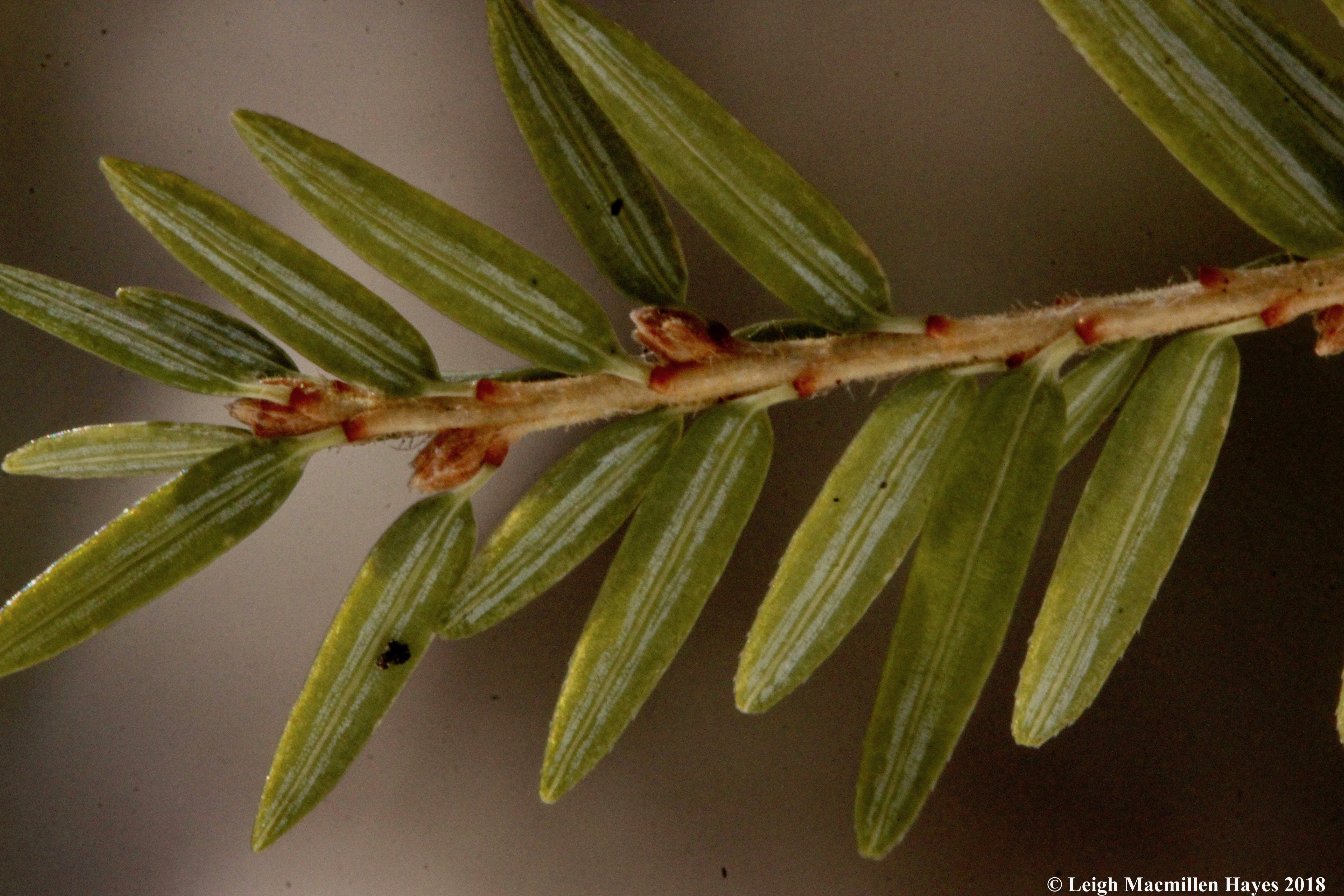 e-hemlock petioles (stems) and stomata lines