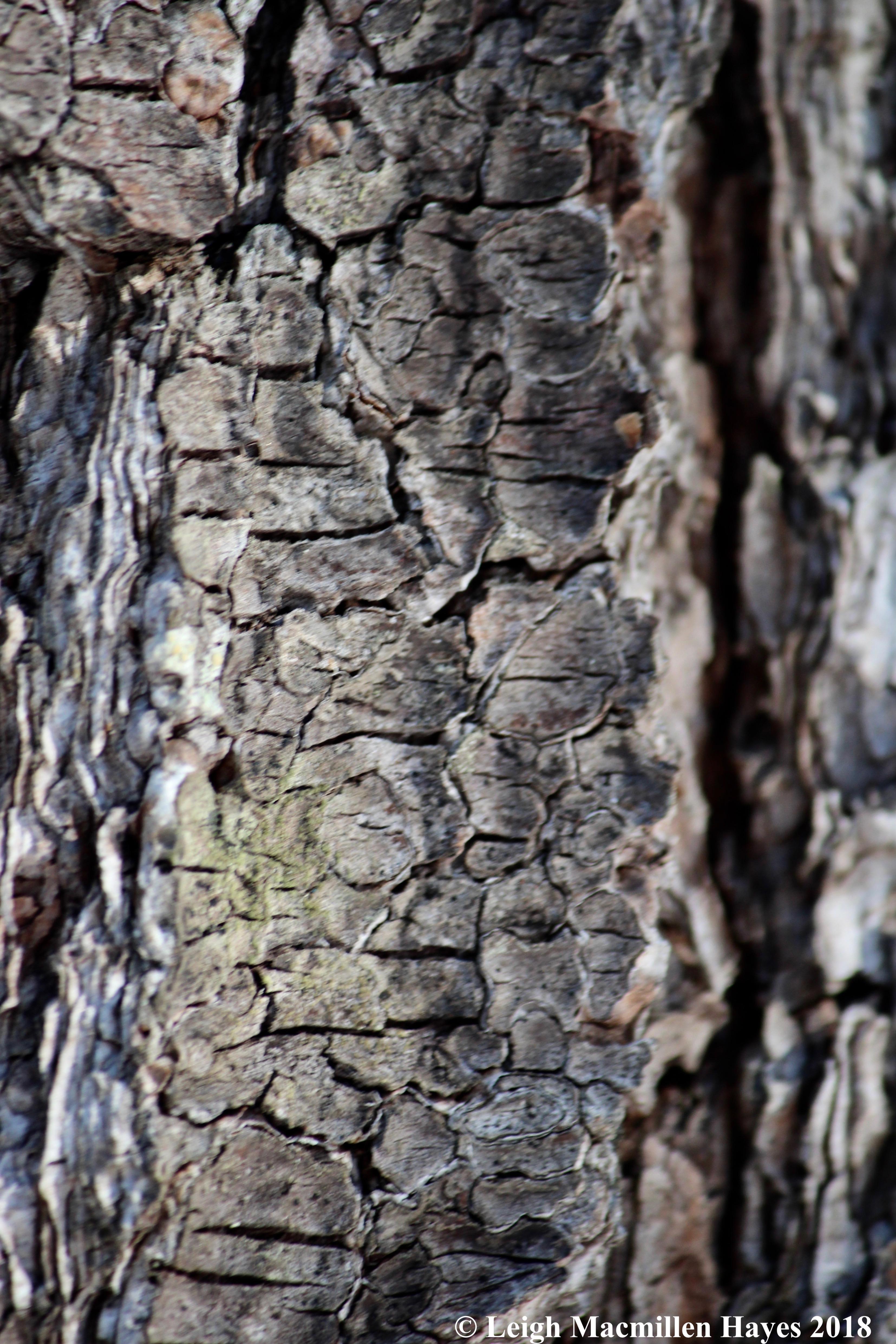 e-lines in white pine bark