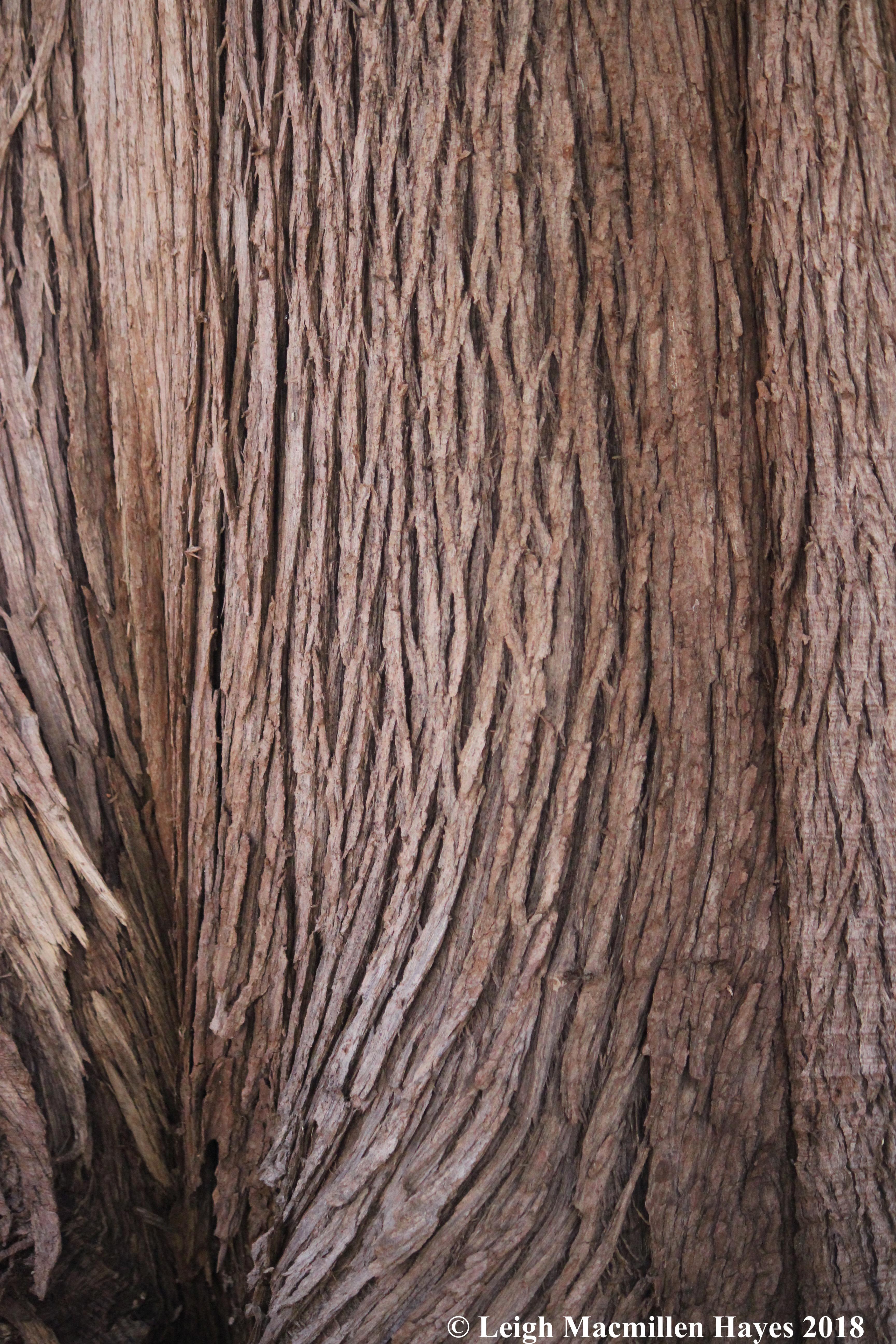 e-Northern white cedar bark 2